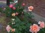 2014 Roses