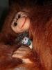 orange-orangutan