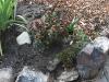 Poor frozen azalea
