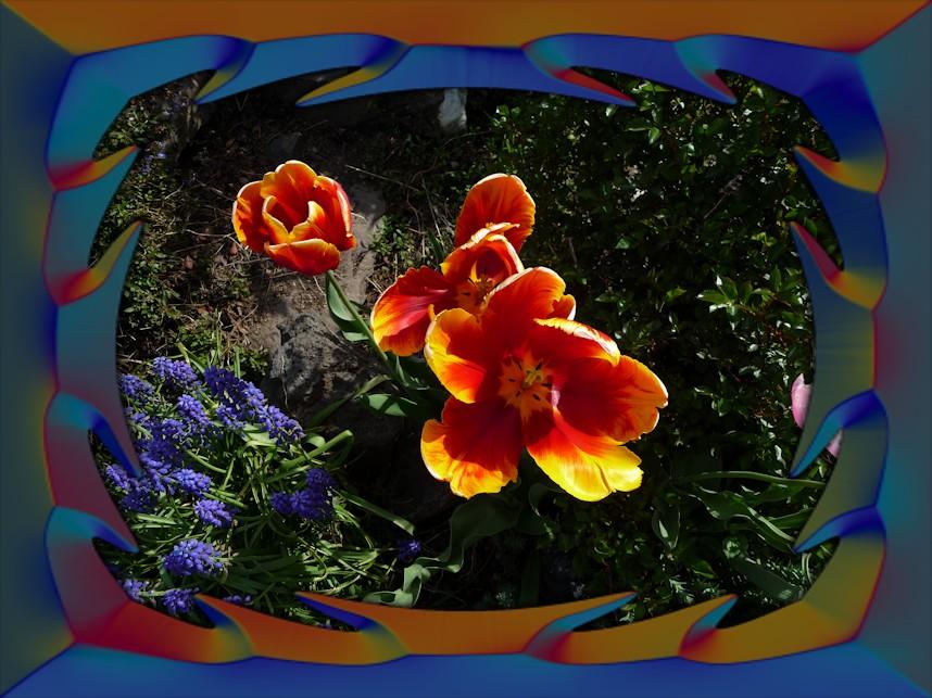 orange_tulip