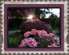 azalea_sunset_picoftheday