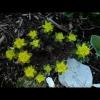 mayflowers03