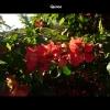 mayflowers06