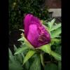 mayflowers08