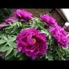 mayflowers15