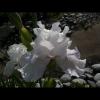 mayflowers17