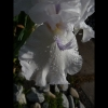 mayflowers18