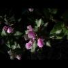 mayflowers31
