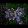 mayflowers33