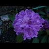mayflowers35