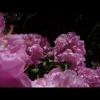 mayflowers37
