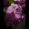 mayflowers38