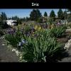 mayflowers41