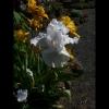 mayflowers43