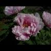 mayflowers45