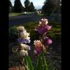 mayflowers49jpg