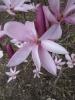 magnolia_8