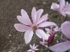 magnolia_9