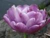 tulip_4