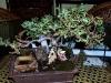 Shareen\'s bonsai