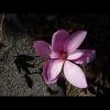 magnolia10