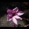 magnolia11